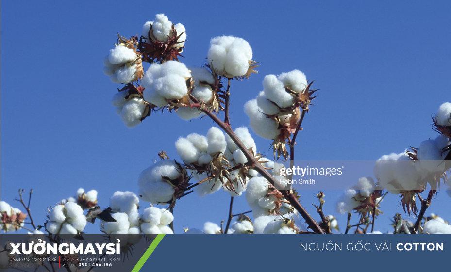 Nguồn gốc chính của chất liệu Cotton là từ sợi bông