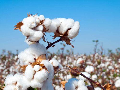 Cây bông dùng để sản xuất ra vải cotton - một tron